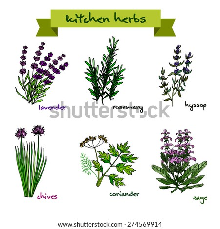 Set of vector hand-drawn fresh kitchen herbs