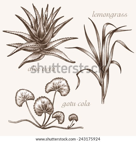 Set of vector images of medicinal plants. Biological additives are. Healthy lifestyle. Aloe vera, lemongrass, gotu cola. - stock vector