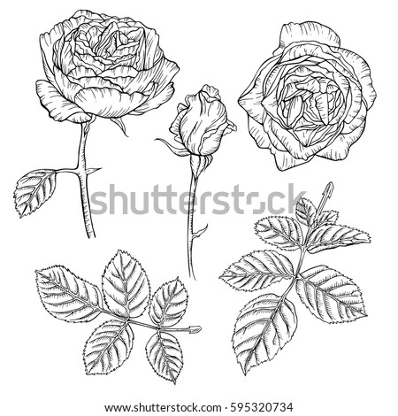 Set of vintage roses drawn with ink. Vector illustration. Page for coloring