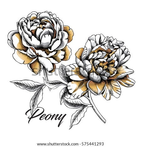 Peony Stock Images Royalty Free Images amp Vectors