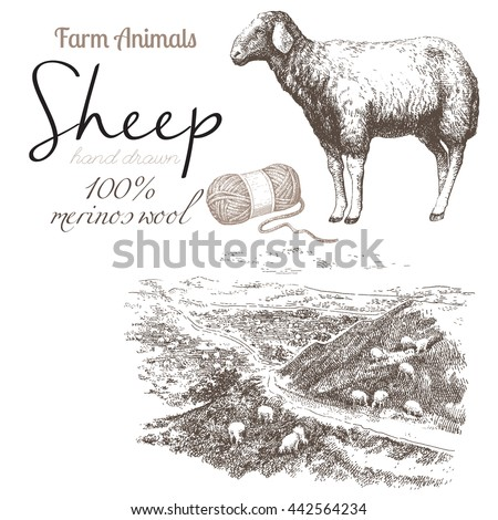 Sheep 2. Sheep breeding. Set of vector sketches on a white background. Sheep grazing in the meadow. Merino wool. Wool skeins - stock vector