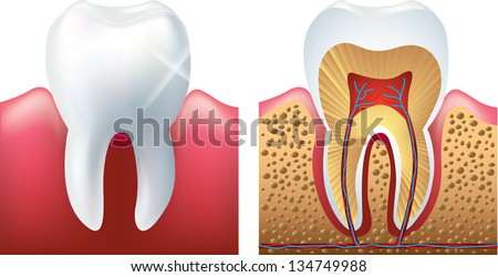 shiny tooth and cutaway photo-realistic vector - stock vector