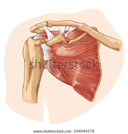 shoulder anatomy - stock vector