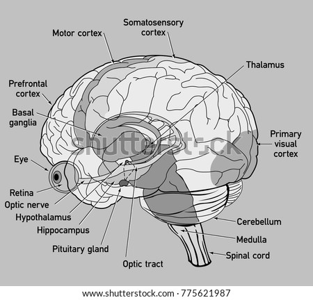 Motor cortex stock images royalty free images vectors side view diagram of human brain ccuart Gallery