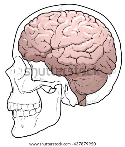 Side view illustration of a human brain in a skull. - stock vector