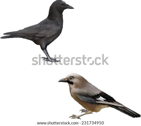 Side view of a Carrion Crow, Corvus corone, Eurasian jay isolated on white - stock vector