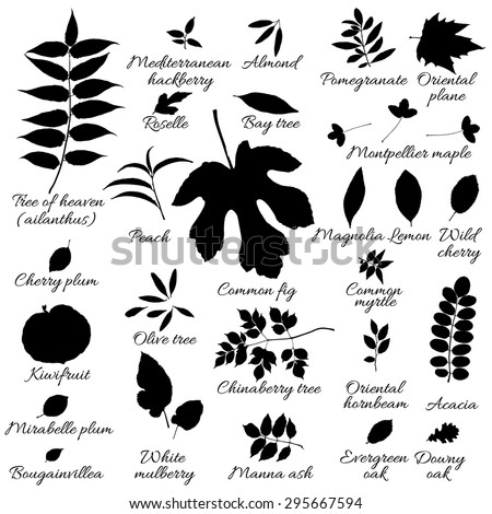 Silhouettes of tree leaves (ailanthus, mulberry, mirabelle, bougainvillea, hornbeam, pomegranate, oak, hackberry, boxwood, bay, myrtle, olive, peach, plane, kiwi). Vector botanical illustration.