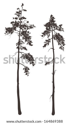 silhouettes of two tall pine trees on a white background, vector illustration - stock vector