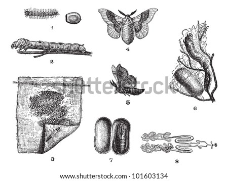 Silkworm or Bombyx mori, showing lifecycle stages, vintage engraved illustration. Dictionary of Words and Things - Larive and Fleury - 1895 - stock vector