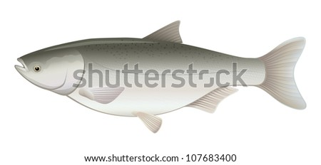 """Silver Flying Carp Freshwater Fish (Hypophthalmichthys molitrix) """"Full compatible Vector. Created with gradients."""" - stock vector"""