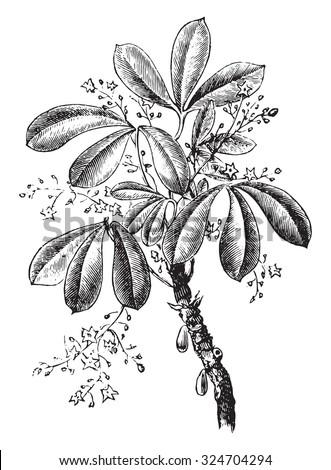 Siphonia elastic, vintage engraved illustration. Industrial encyclopedia E.-O. Lami - 1875. - stock vector