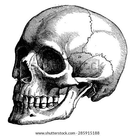 Skeleton of the human head, vintage engraved illustration. La Vie dans la nature, 1890. - stock vector