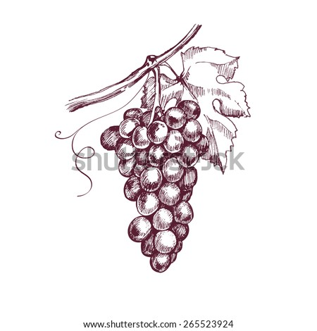 Sketch bunches of grapes. Vector illustration. - stock vector