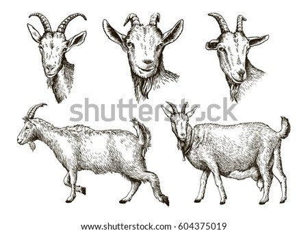 Sketch Of Goat Drawn By Hand Livestock Animal Grazing