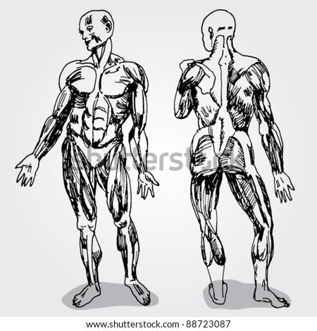 Sketch of Men's Anatomy - stock vector
