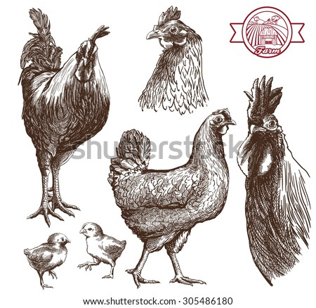 Sketches of cocks, hens and chickens on a white background - stock vector