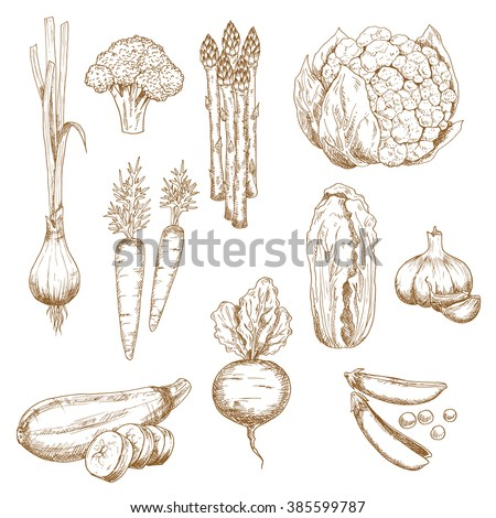 Sketches of farm carrots, garlic cloves, onion, pea, broccoli, zucchini and cauliflower, asparagus and chinese cabbage vegetables. Restaurant menu, recipe book, vegetarian food or agriculture themes