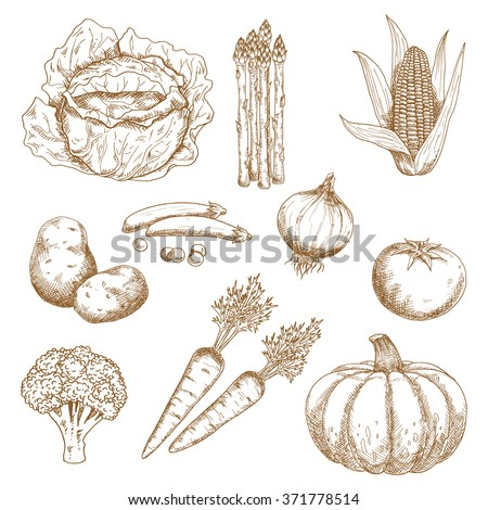 Sketches of farm sweet corn, onion, tomato, broccoli, carrots, green pea, cabbage, pumpkin and asparagus vegetables. Greengrocery market, agriculture,  recipe book or vegetarian food design usage