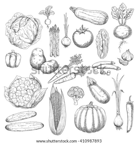 Sketches of healthy and fresh cabbages, peppers, onions, broccoli, tomato, potatoes, garlic, cucumbers, beetroot, carrots, pumpkin, corn, eggplant, asparagus, peas, zucchini and radish vegetables
