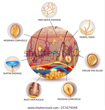 Skin anatomy and Sensory receptors in the skin. Skin anatomy in the round shape. - stock vector