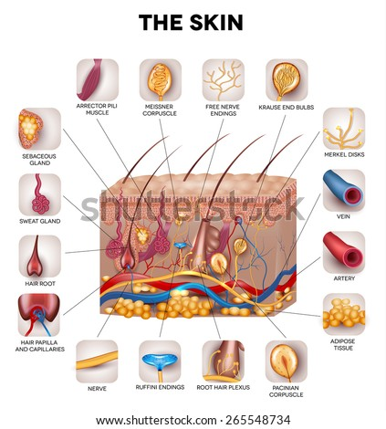 Skin anatomy, detailed illustration. Beautiful bright colors. - stock vector