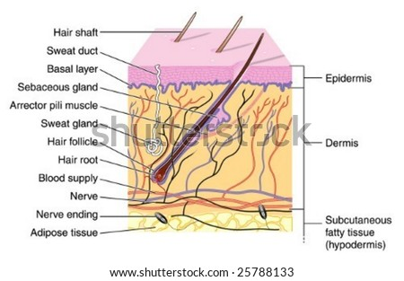 Sweat Gland Stock Images, Royalty-Free Images & Vectors ...