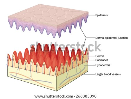 Skin showing the dermo-epidermal junction, capillaries and deeper blood vessels. Created in Adobe Illustrator.  Contains transparencies.  EPS 10. - stock vector