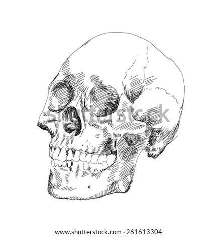 skull drawing - stock vector