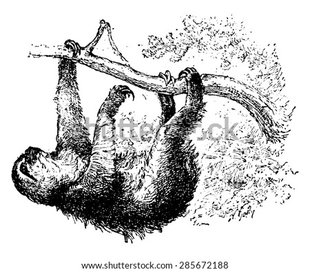 Sloth, vintage engraved illustration. Natural History of Animals, 1880.