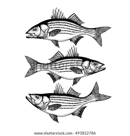 Smallmouth Bass Hand Drawn Outline Vector Illustration Isolated On White Background