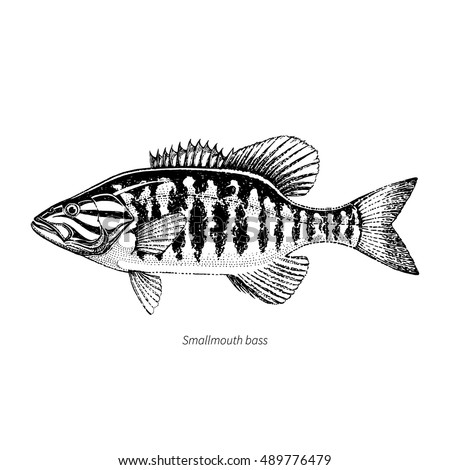 Smallmouth Bass Hand Drawn Outline Vintage Vector Illustration Isolated On White Background
