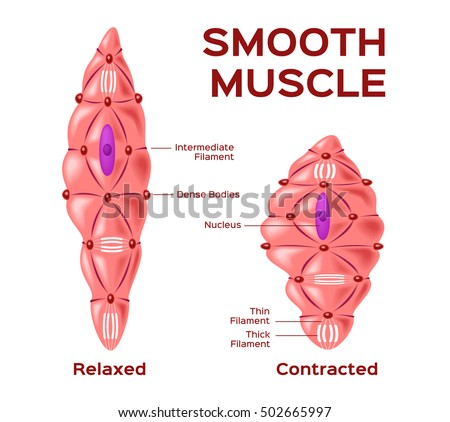 muscle cells stock images, royalty-free images & vectors, Muscles