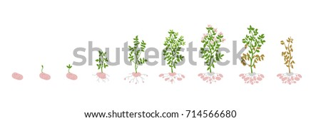 Solanum tuberosum potato Vector Illustration growing plants. Determination of the growth stages biology