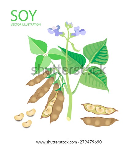 Soybeans. Vector Illustrations Set On A White Background. Soybeans Protein. Soybeans For Sale. Soybeans Estrogen. Soybeans Recipe. Soybeans Futures. Soybeans Plant. Complete Protein. - stock vector