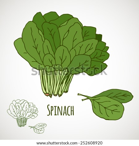 Spinach. Green salad leaf vegetable. Healthy vegetarian food. Hand drawn colorful sketch. Vector illustration isolated on white background. - stock vector