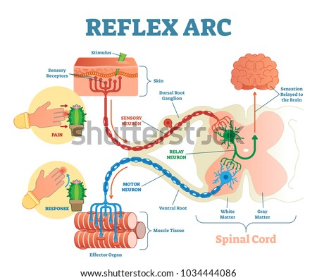 Spinal reflex arc anatomical scheme vector stock vector 1034444086 spinal reflex arc anatomical scheme vector illustration with spinal cord stimulus pathway to ccuart Image collections
