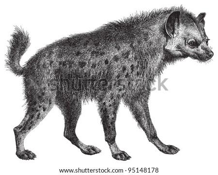 Spotted hyena (Crocuta crocuta) / vintage illustration from Meyers Konversations-Lexikon 1897 - stock vector