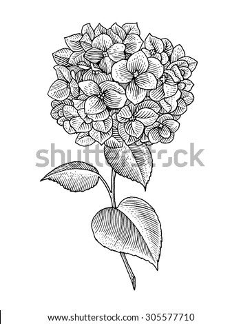 Sprig of blooming hydrangea, black and white graphics - stock vector
