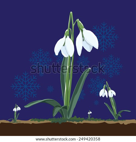 Spring snowdrop flowers isolated on navy blue background with snowflakes. Vector illustration