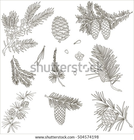 Spruce branches and fir cones, vector