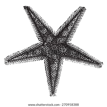 Starfish or sea stars, vintage engraved illustration. Natural History of Animals, 1880. - stock vector
