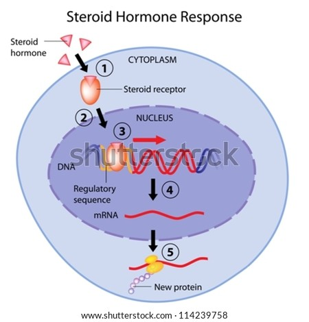 Steroid hormones action - stock vector