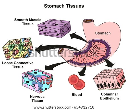 types muscle tissue human body diagram stock vector 614456477, Muscles