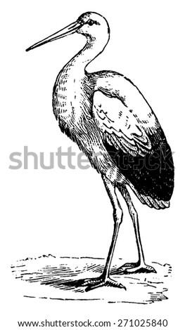Stork, vintage engraved illustration. From La Vie dans la nature, 1890. - stock vector