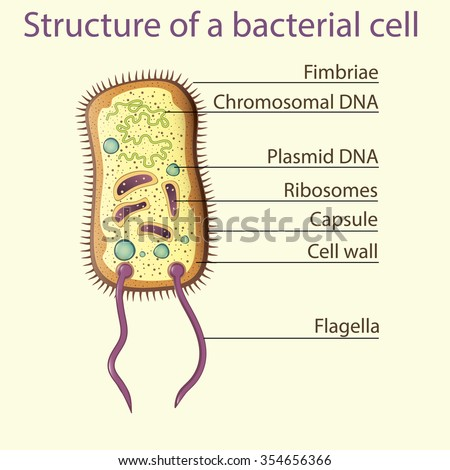 Structure Bacterial Cell School Illustration Vector Stock Photo