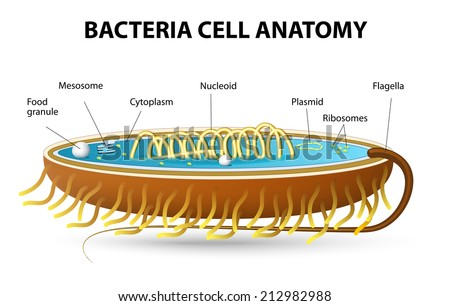 Bacteria Cell Diagram Labeled Bigking Keywords And Pictures