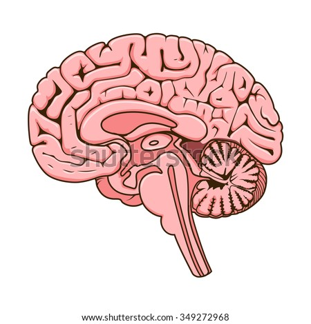 Structure of human brain section schematic vector illustration. Medical science educational illustration - stock vector