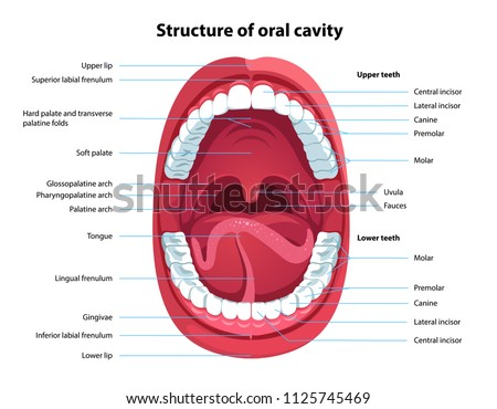 Structure Oral Cavity Human Mouth Anatomy Stock Vector (Royalty Free ...