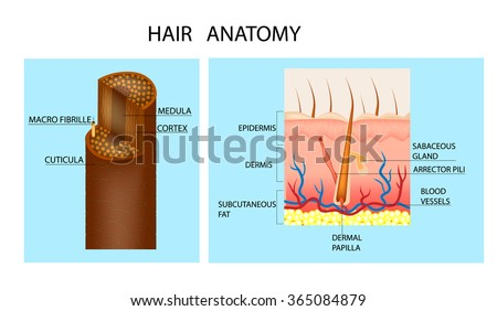 Structure Hair Detailed Medical Illustration Hair Stock Vector (2018 ...