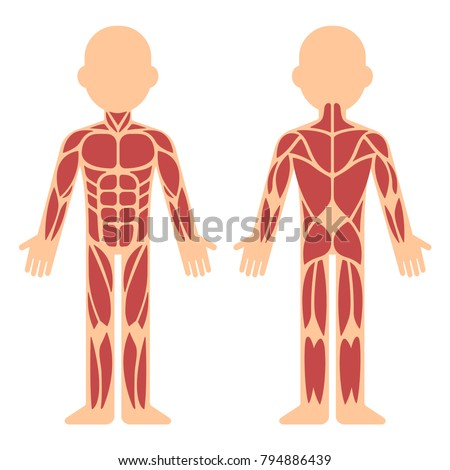Stylized Muscle Anatomy Chart Front Back Stock Vector Royalty Free